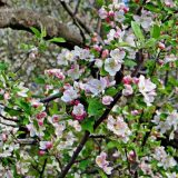 Apple-Blossoms Manali, Himachal