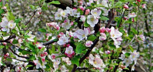 Apple-Blossoms Manali, Himachal